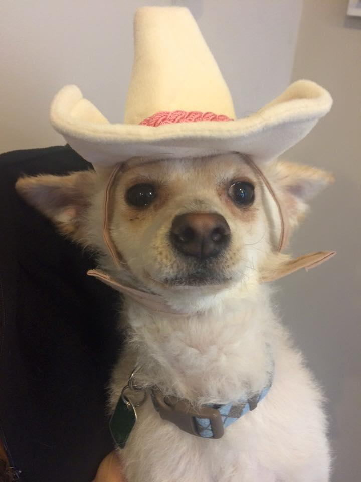 Fester, an adopted Chihuahua & Pomeranian Mix in Chicago, IL