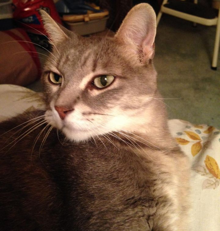 Thumbelina, an adopted Tabby & Domestic Short Hair Mix in Glendale Heights, IL