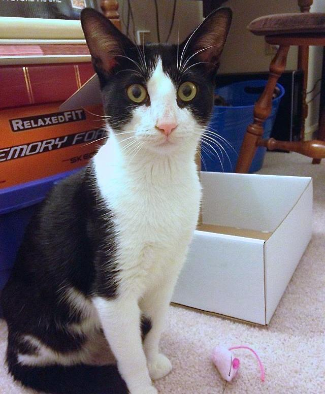 Charming Charlie, an adoptable Tuxedo in Jersey City, NJ