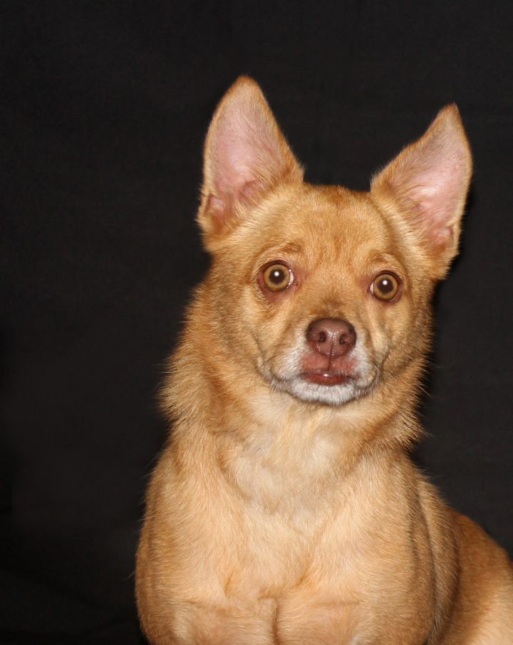 Dog for adoption - MAX, a Chihuahua & Terrier Mix in ...