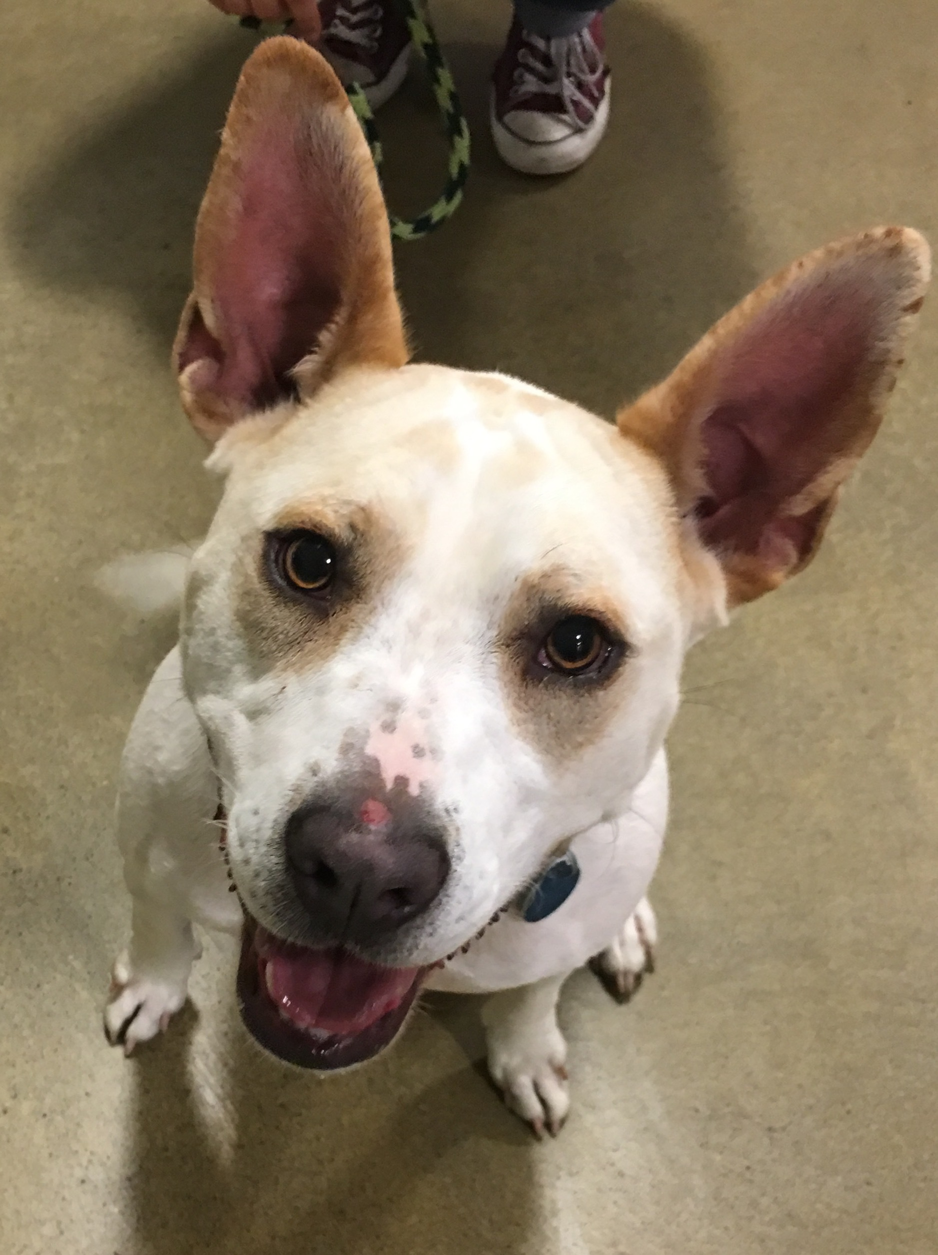 Dog For Adoption Brazella A Cattle Dog Amp Bull Terrier Mix In Tulsa Ok Petfinder