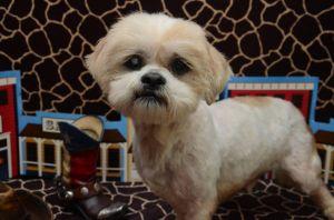 Crane Davis Lhasa Apso Dog