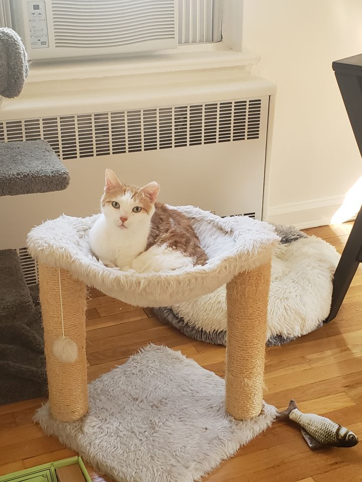 Creamsicle, an adoptable Domestic Short Hair in South Ozone Park, NY
