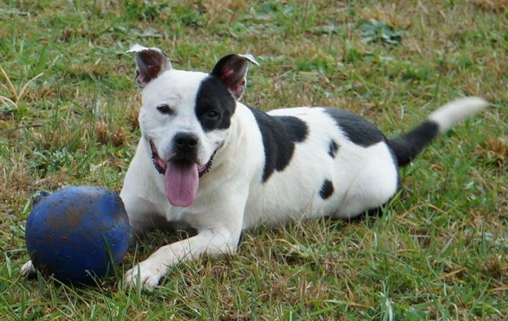Mr. Myers, an adopted Pit Bull Terrier & Border Collie Mix in Mooresville, NC