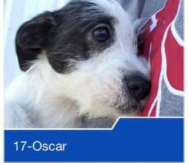 Oscar, an adopted Terrier Mix in Puyallup, WA