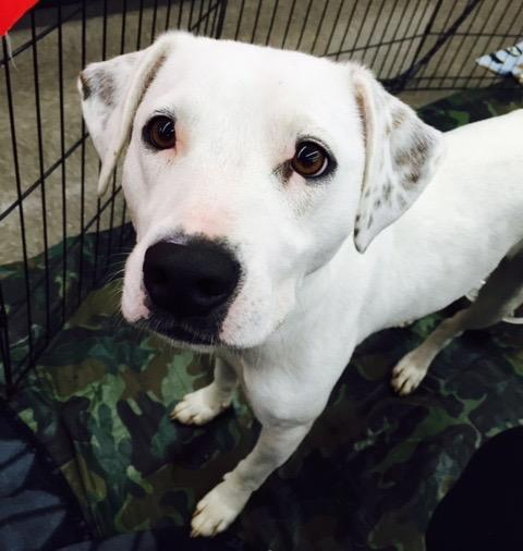 Candy, an adopted Dalmatian & Labrador Retriever Mix in Columbia, SC