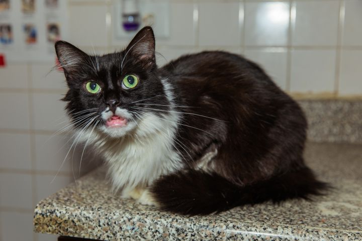 Pip, an adoptable Maine Coon in Chicago, IL