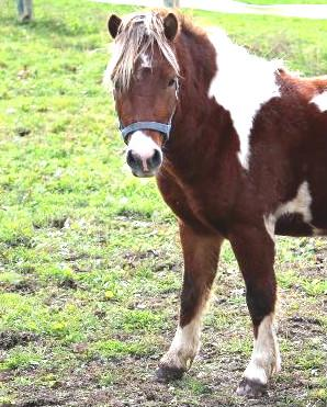 JB, an adopted Miniature Horse in Wainfleet, ON
