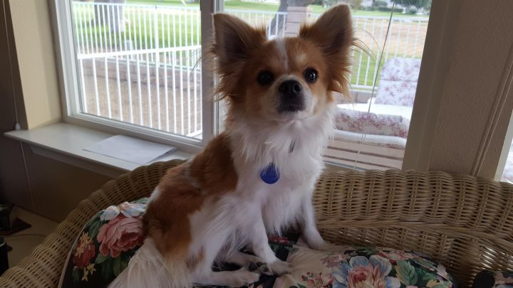 Candy - Super fun!, an adopted Papillon Mix in Bend, OR