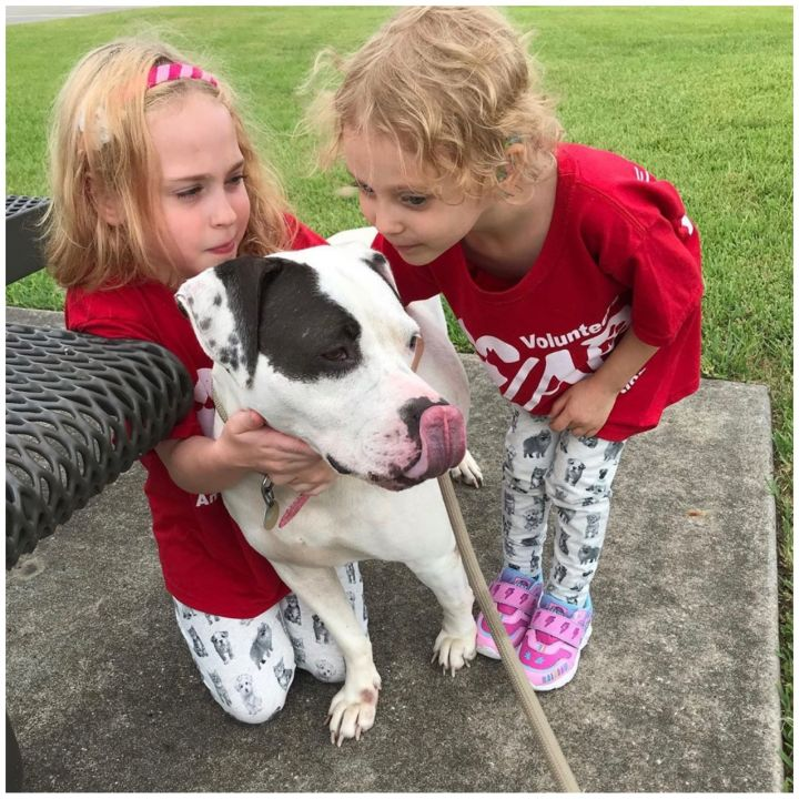 Gidget, an adopted American Staffordshire Terrier Mix in Kingwood, TX