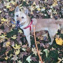 Jenny, an adopted Jindo in Valley Stream, NY