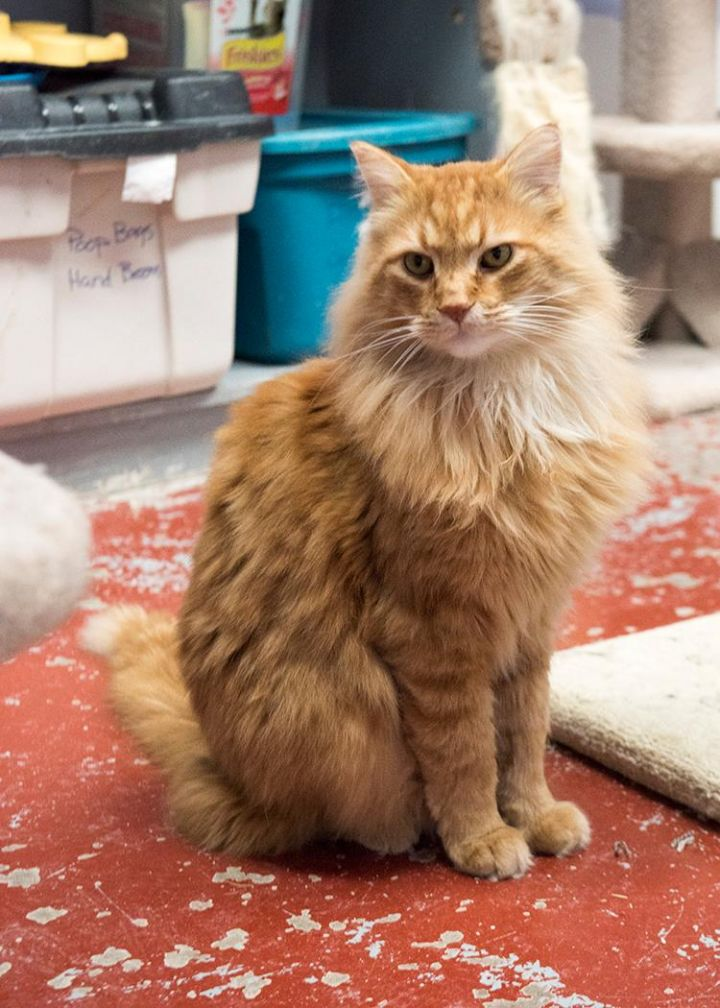 Mars, an adopted Domestic Long Hair in Fort Smith, NT