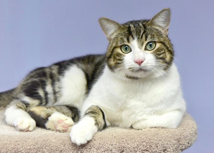 Hendrick, an adopted American Shorthair in Fort Smith, NT