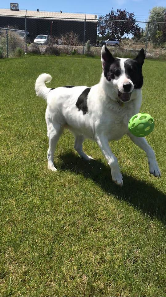 Rex, an adopted Border Collie Mix in Prineville, OR