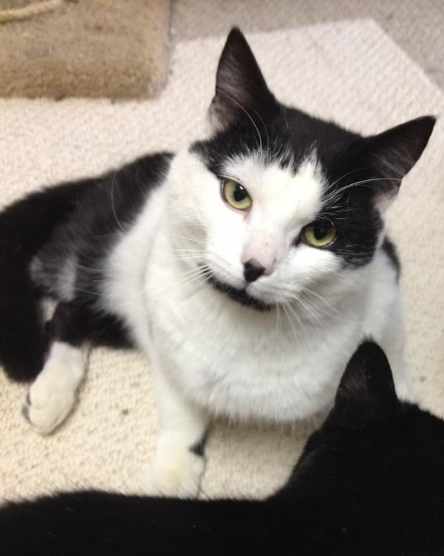 Bernie, an adopted Tuxedo in Woodbridge, VA