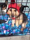 Australian Terrier Dog: Wally