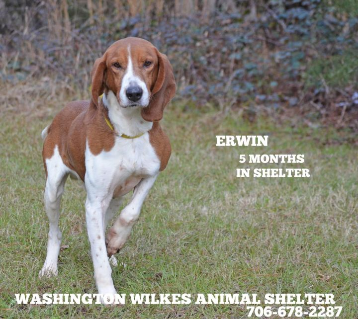 Erwin, an adopted Coonhound & Basset Hound Mix in Washington, GA