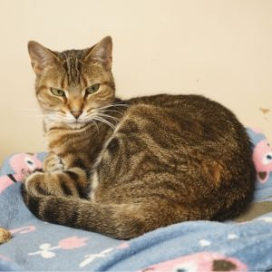 Toni is a beautiful golden brown tabby She arrived at the shelter with her two siblings and feral m