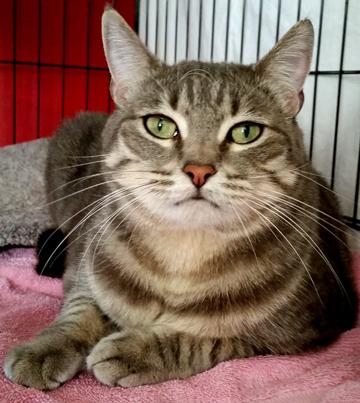 Toez, an adoptable Tabby & Domestic Short Hair Mix in Palo Cedro, CA