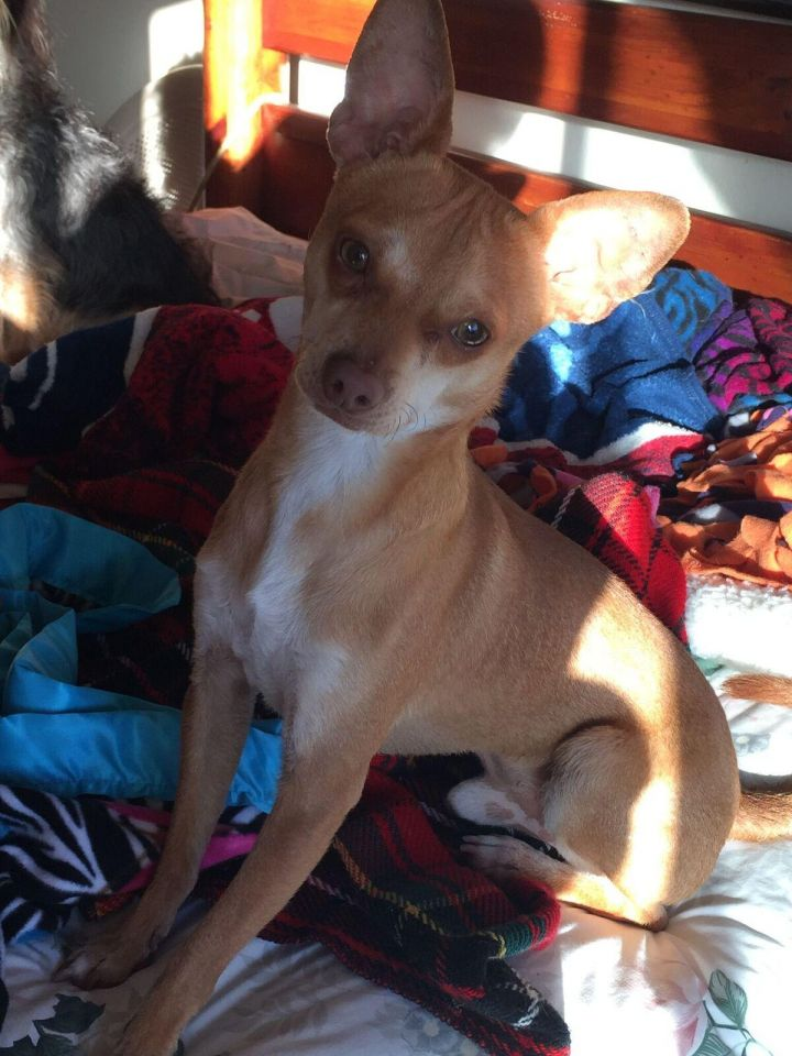 Dog For Adoption Repo A Handsome Puppy Reindeer Chi A Chihuahua