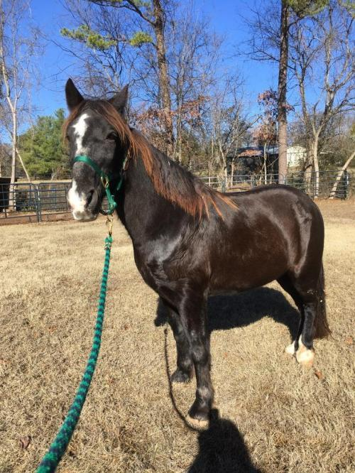 Horse for adoption - Hobbit, a Tennessee Walker in Mouth Of