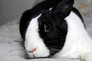 Lucia is medium-sized black and white Dutch She is a very happy interactive and relaxed bunny Lu