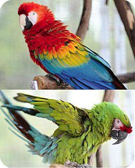 Parrot for adoption - Quork & Betsy, a Macaw in Asheville
