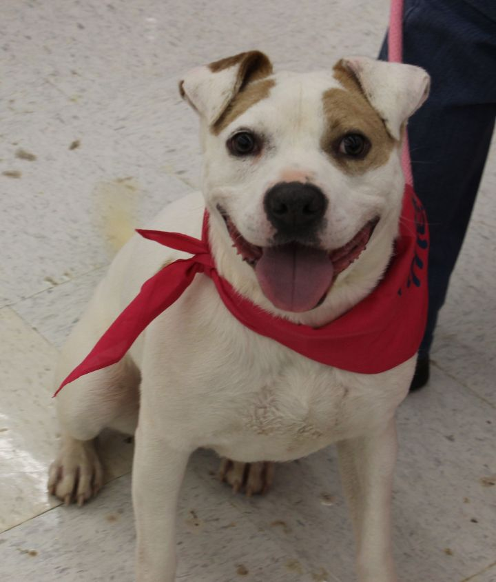 Dog For Adoption Beau A Pit Bull Terrier Jack Russell Terrier