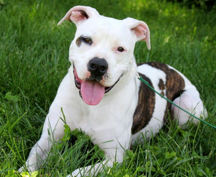 Angel, an adoptable American Bulldog Mix in Kansas City, KS