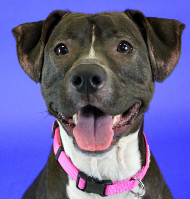 Xena: Adopted!, an adopted Pit Bull Terrier Mix in Kansas City, KS