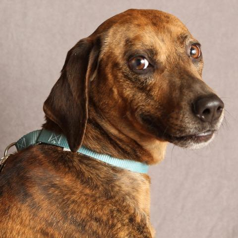 Jasper (Red), an adopted Plott Hound Mix in Albany, NY