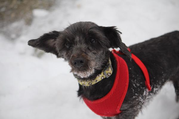 Verena, an adopted Yorkshire Terrier & Poodle Mix in Wainfleet, ON