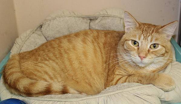 Fozzie, an adoptable Tabby & Domestic Short Hair Mix in Waverly, IA