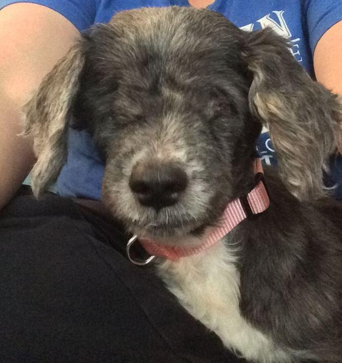 Sierra Monet, an adopted Shih Tzu & Lhasa Apso Mix in Cleveland, OH