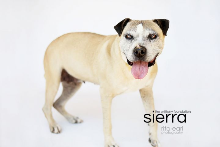 Sierra, an adoptable American Staffordshire Terrier Mix in Agua Dulce, CA