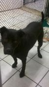 Labrador Retriever Dog: Nicholas