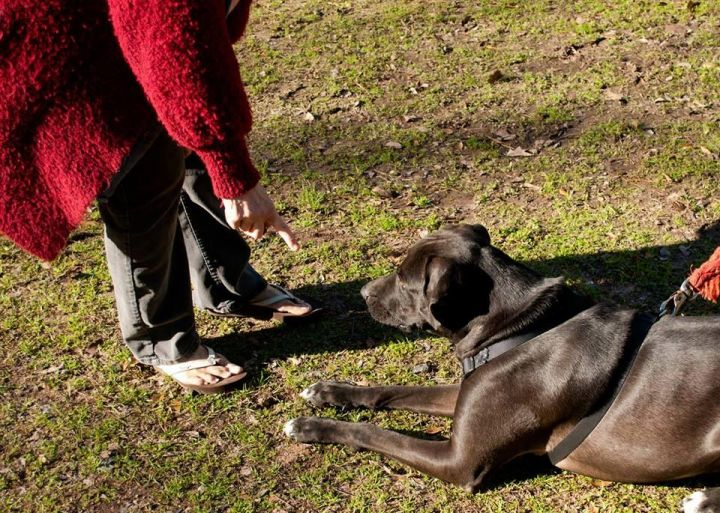 Roman, an adoptable Labrador Retriever & Great Dane Mix in Brenham, TX