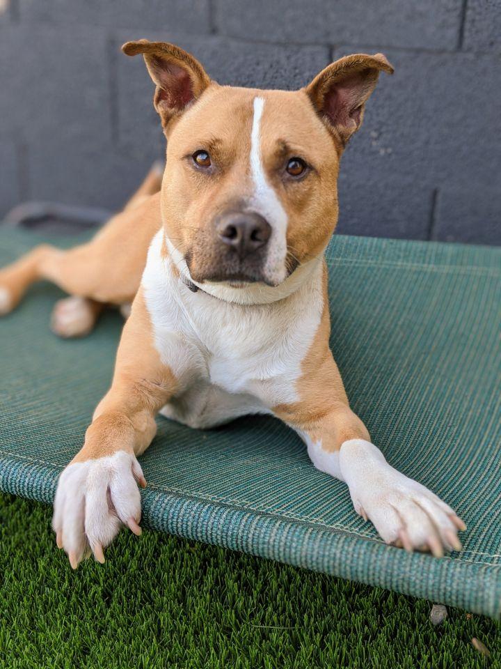 Dog For Adoption Kaiser A Pit Bull Terrier Siberian Husky Mix