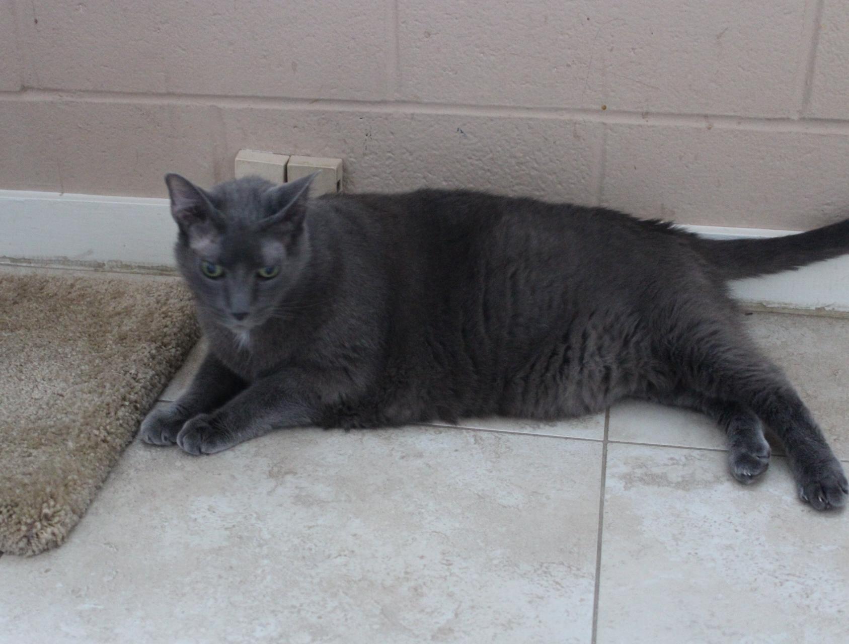 Cat for Adoption – Jax near Hilton Head Island SC