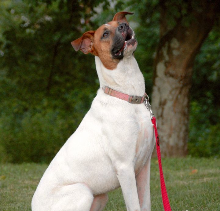 Honey, an adopted Boxer Mix in Jeffersonville, IN