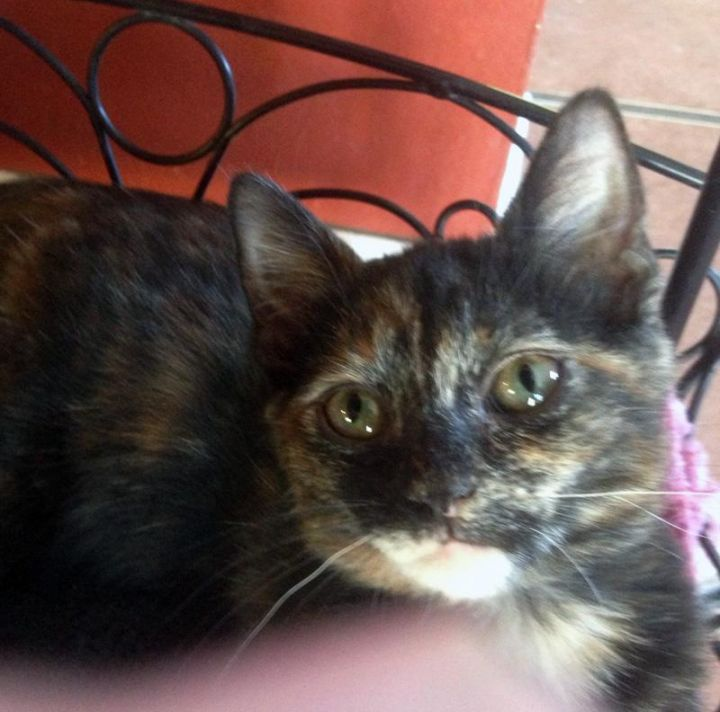 Chui, an adoptable Tortoiseshell & Domestic Short Hair Mix in Mission Viejo, CA