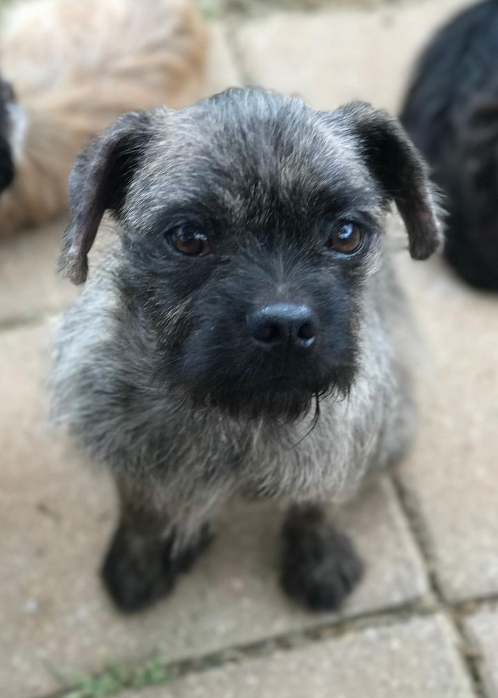 Dog for adoption - Junie B, a Pug & Yorkshire Terrier Mix in Abilene