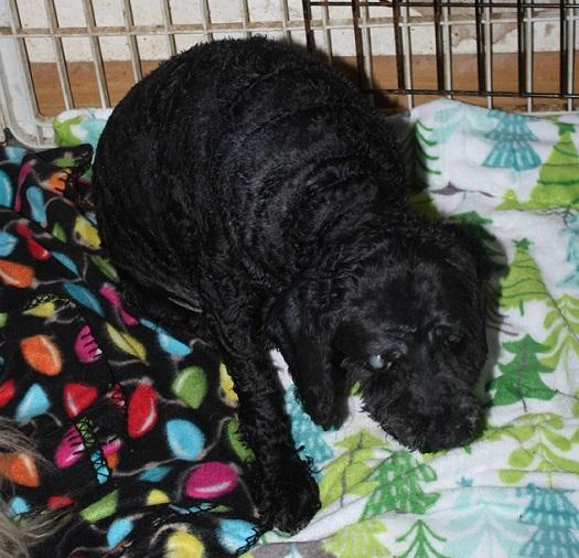 Dog for adoption - Willow, a Cockapoo Mix in Homer, NY | Petfinder