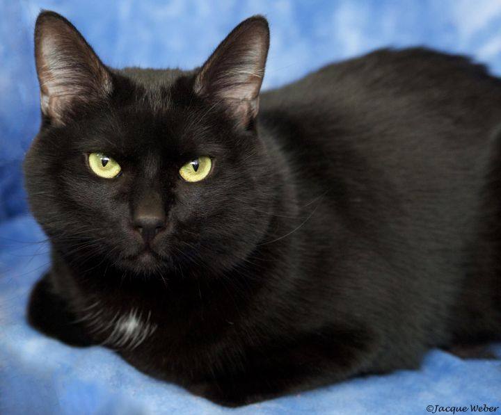 Heckle, an adoptable Domestic Short Hair in St. Louis, MO