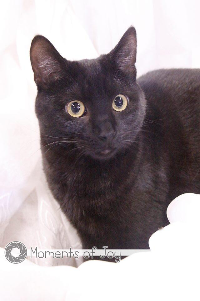Dusky, an adoptable Domestic Short Hair in Waverly, IA