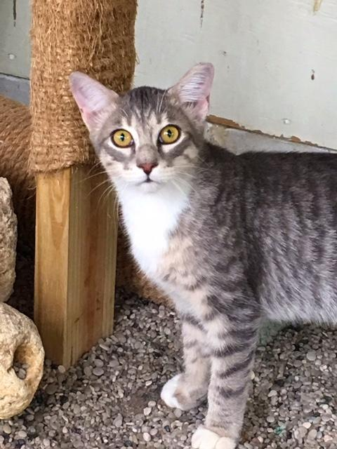 Cash, an adoptable Tabby in Parkland, FL