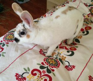 Carmela is a young medium-sized Rex rabbit Her beautiful coat is mostly white with tan and black sp
