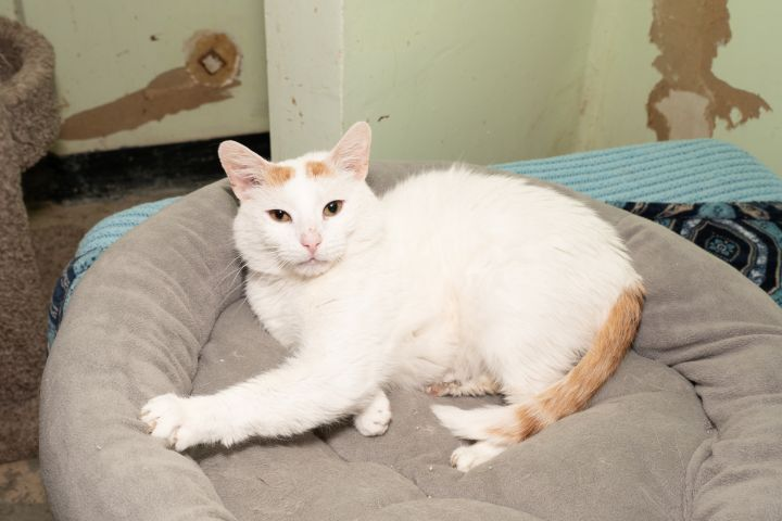 Butternut, an adoptable Domestic Short Hair in Chicago, IL