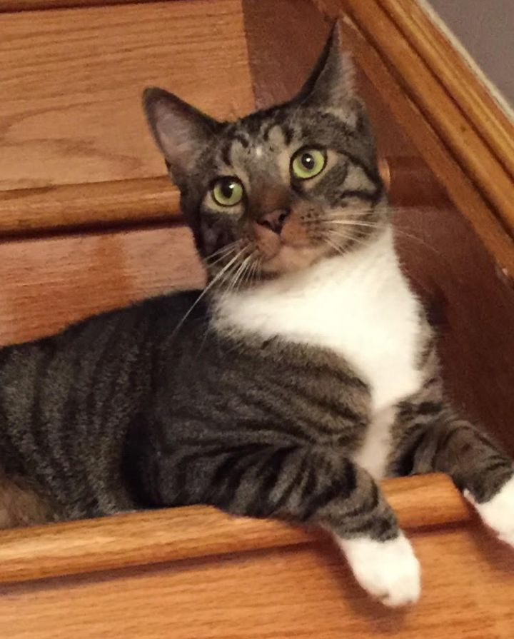Pete, an adoptable Domestic Short Hair in South Ozone Park, NY