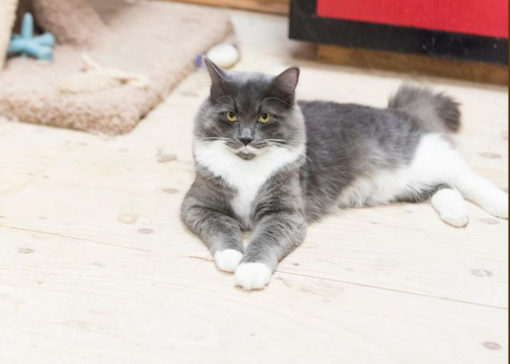 Mr. Grey, an adopted Domestic Short Hair in Fort Smith, NT